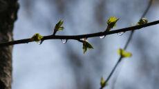 Przed brzozą uchroni nas deszcz