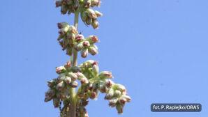 Bylica (Artemisia)
