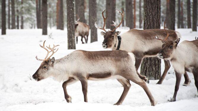 Na Syberii krytycznie spadła liczba reniferów