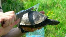 """Mazurskie żółwice szukają """"inkubatorów"""". Przed nimi trudne i dalekie wędrówki"""