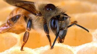 Chroń pszczoły, adoptując je