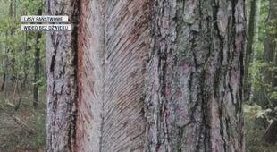 Tajemnicze nacięcia na drzewach to spały żywiczarskie